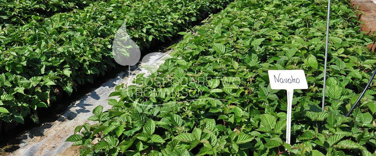 Atemberaubend Amerikanische Heidelbeere Kamtschatka-Heckenkirsche Dornenlose #UM_24