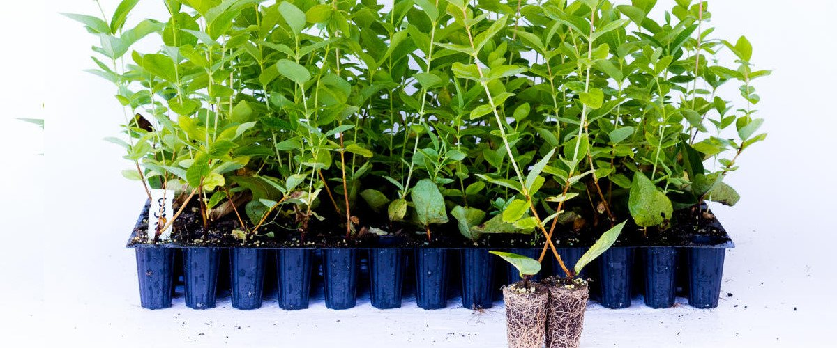 Blueberries seedlings Honeyberry Blackberry Kiwi berry Cranberry plant seedlings Poland 03