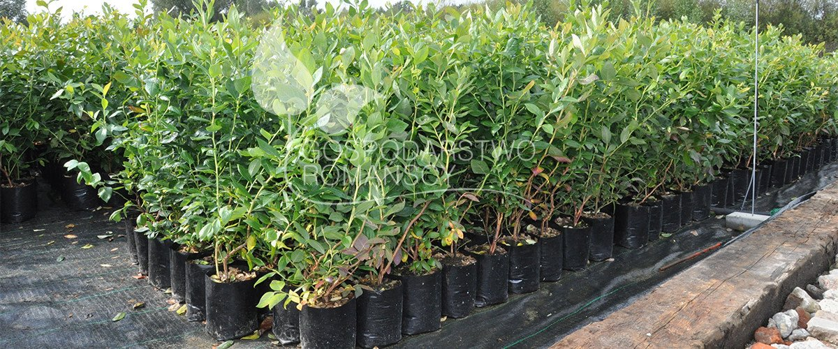 Blueberries seedlings Honeyberry Blackberry Kiwi berry Cranberry plant seedlings Poland 04