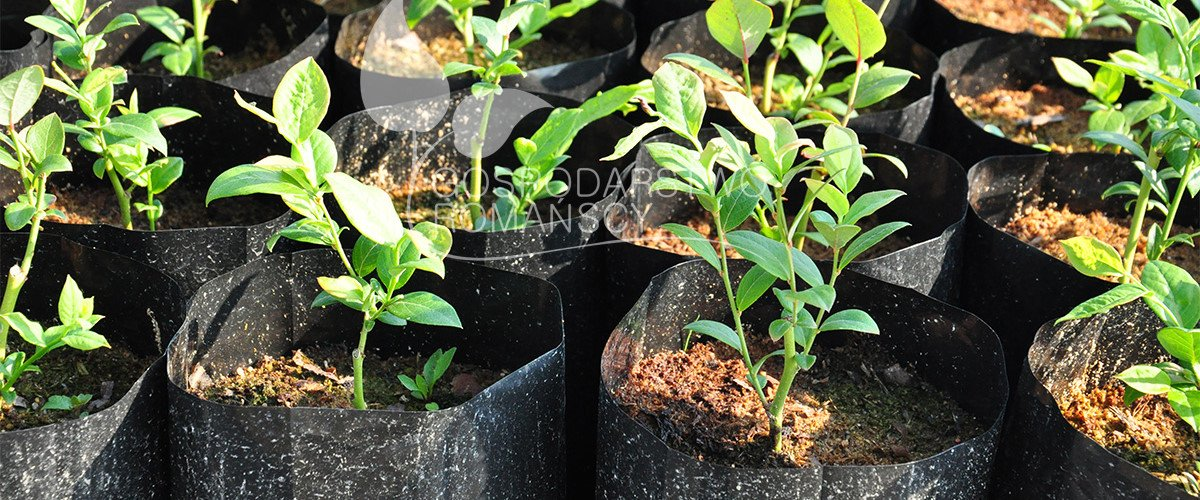 Blueberries seedlings Honeyberry Blackberry Kiwi berry Cranberry plant seedlings Poland 07