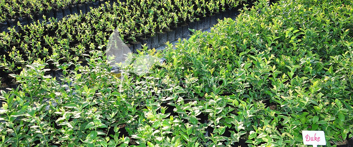 Blueberries seedlings Honeyberry Blackberry Kiwi berry Cranberry plant seedlings Poland 08