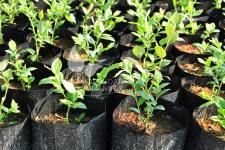 Blueberries seedlings