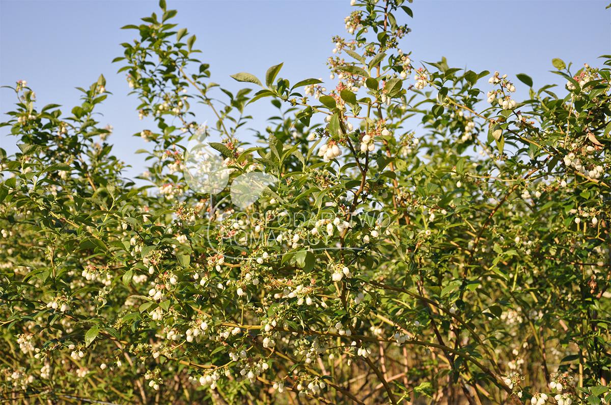 blueberries seedlings honeyberry blackberry kiwi berry
